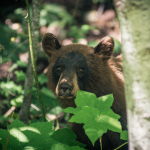 Bear peeking through the bushes in Whistler BC